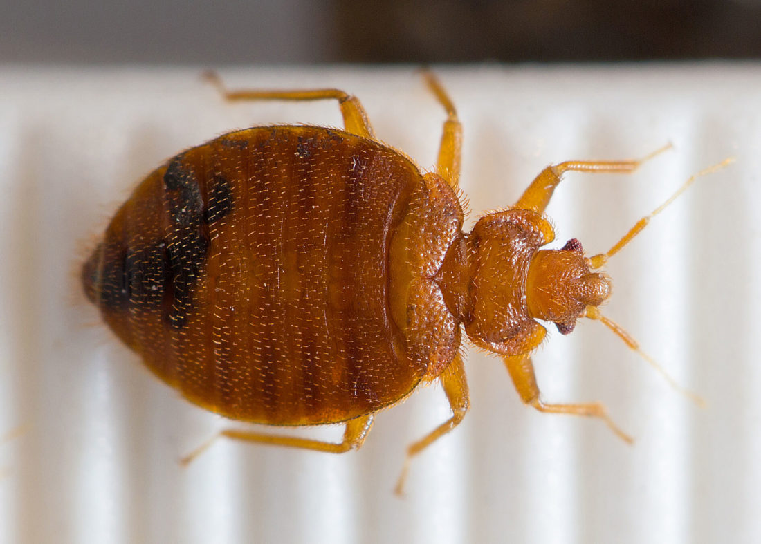 pest problem persists bed bugs are a relatively common issue in