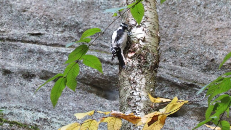 A female Hairy Woodpecker looking for lunch on a birch tree among the rocks.