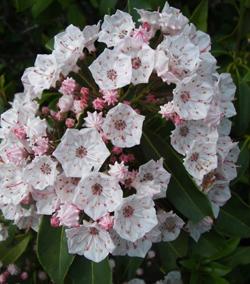 BILL BOWER/Sun-Gazette Correspondent These mountain laurel flowers are just beginning to open.