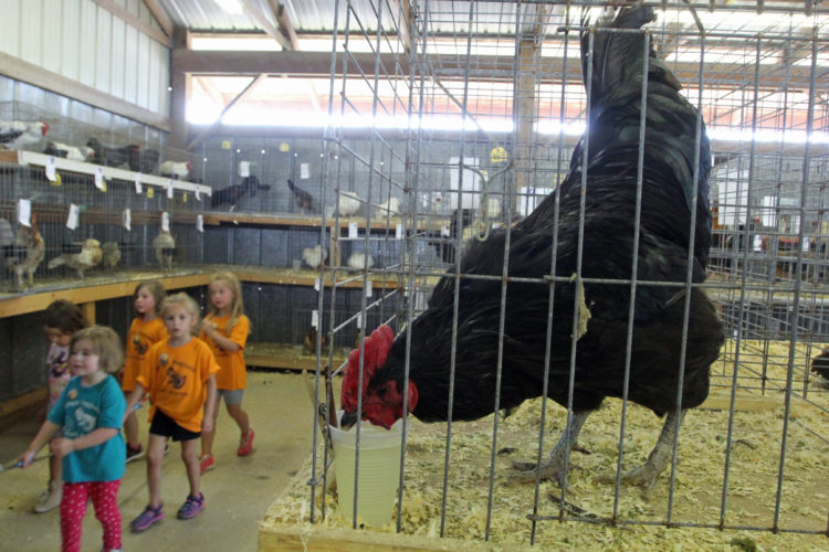 An Australorp Black Rooster takes a drink as kids walk by at the 2017 Lycoming County Fair on Tuesday morning.  KAREN VIBERT-KENNEDY/Sun-Gazette