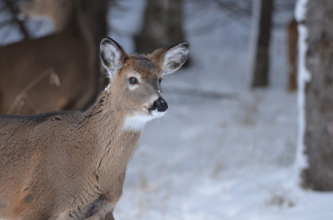 CDC: Deer Can Transmit Tuberculosis to Hunters