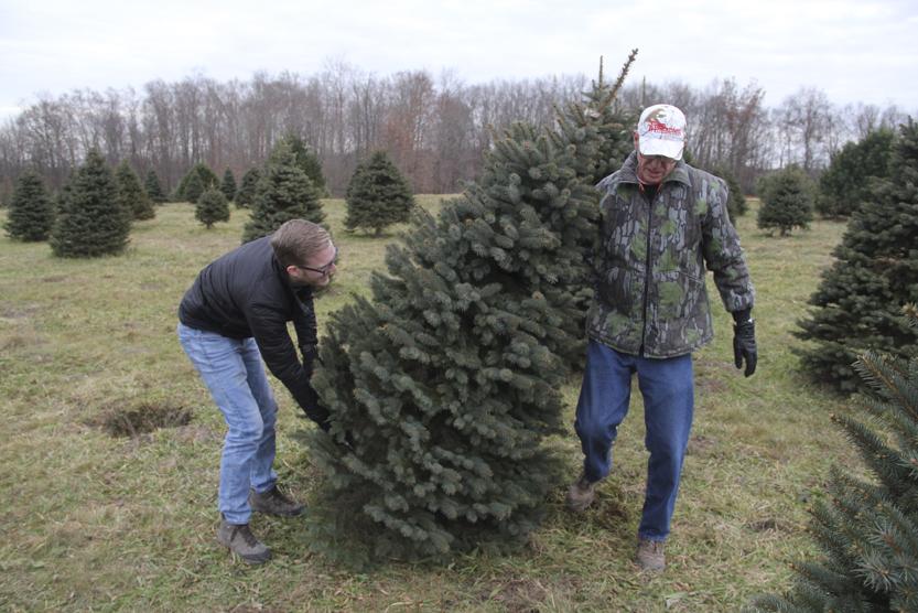 Choosing The Right Christmas Tree News Sports Jobs Tribune