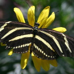 Zebra longwing butterfly1 150x150
