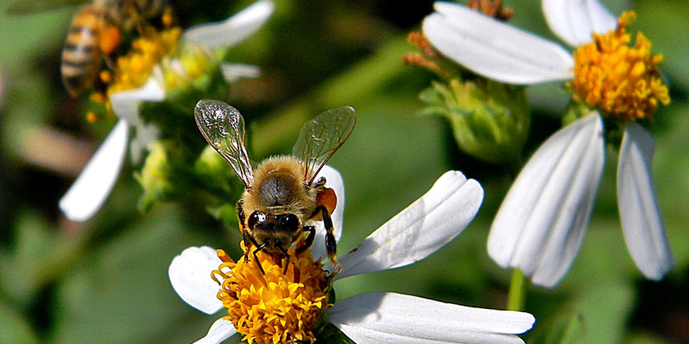Wild honey bees. (Photo credit: Bob Peterson/Wikimedia Commons)