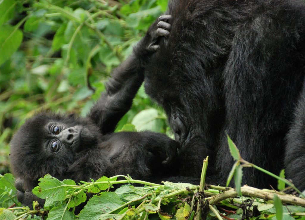 Mountain gorillas in Volcanoes National Park, Rwanda. (Photo credit: Carine06/Wikimedia Commons)
