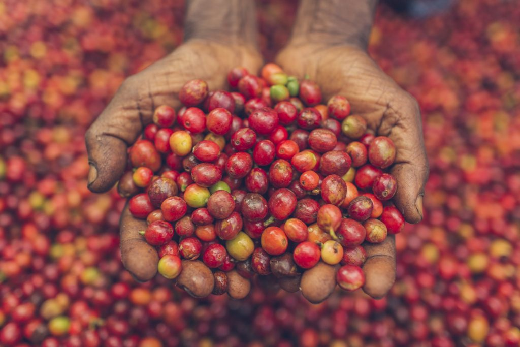 Coffee-cherries-1024x683.jpg
