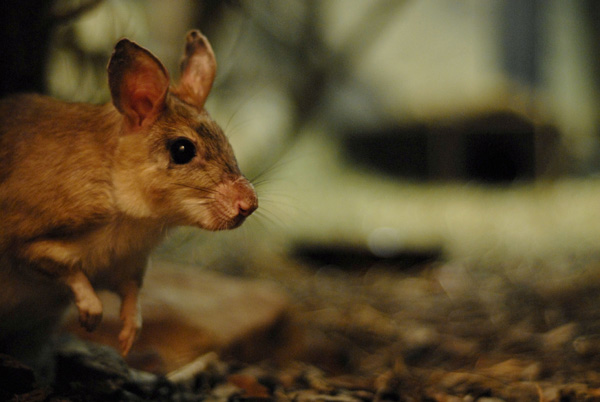 An unlikely public health hero: TB-detecting giant rats