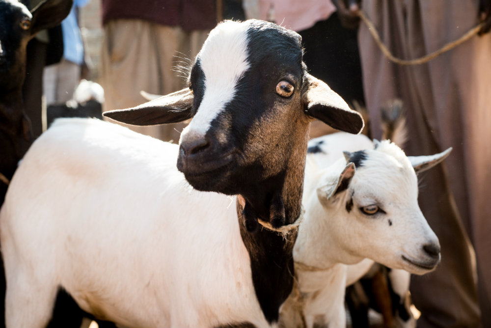 Goats John brought to sell at Myanja market in Chwele, Kenya.