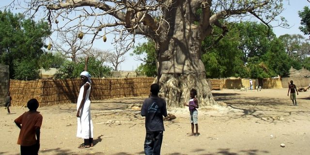 'Superfood' craze is big business for Africa's baobab trees