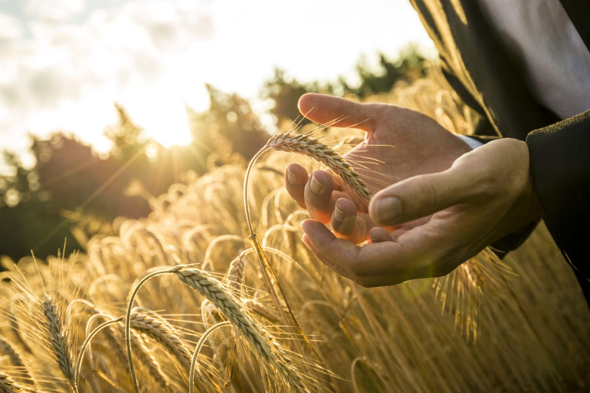 Closeup of hands of businessman cupping a ripe ear of wheat in holding it in front of the fiery orb of the rising morning sun in a conceptual image for business inspiration and start up.