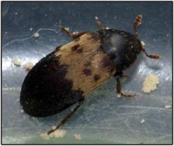 Larder Beetle Cranbrook Pest Control