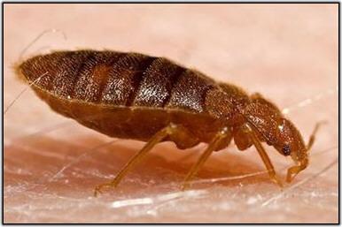 bebugs