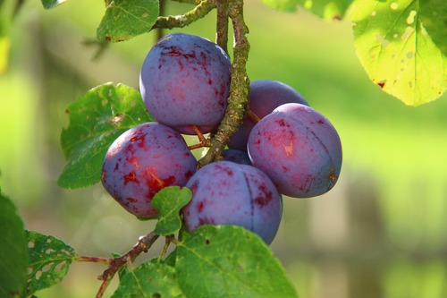 plum planting in Food Forest attempt by Mordae