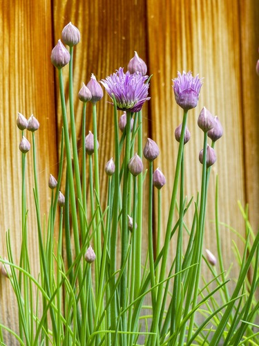 chives seeds belonging to cfarm