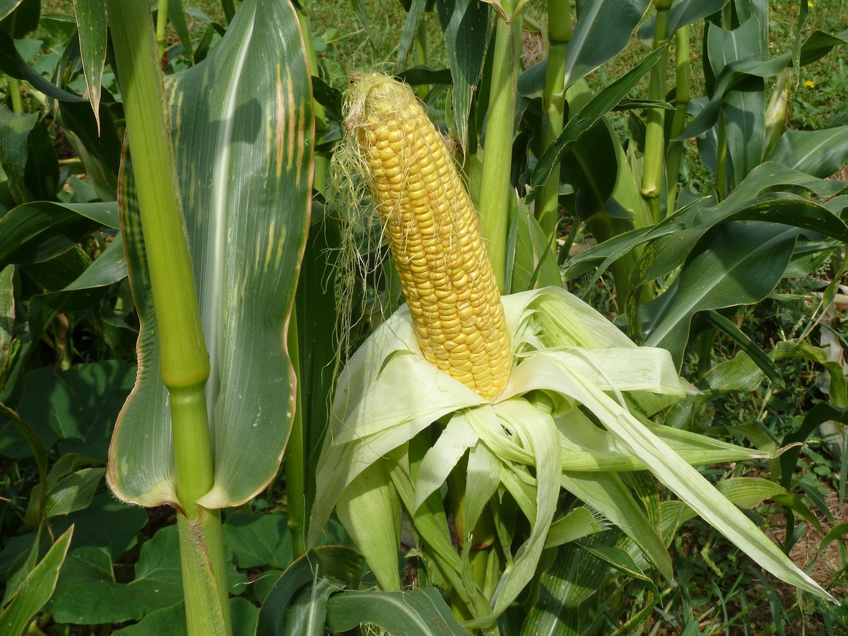 corn seeds belonging to BeccG