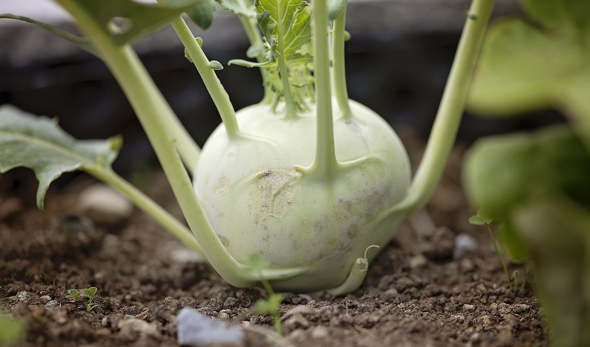 kohlrabi seeds belonging to shiny