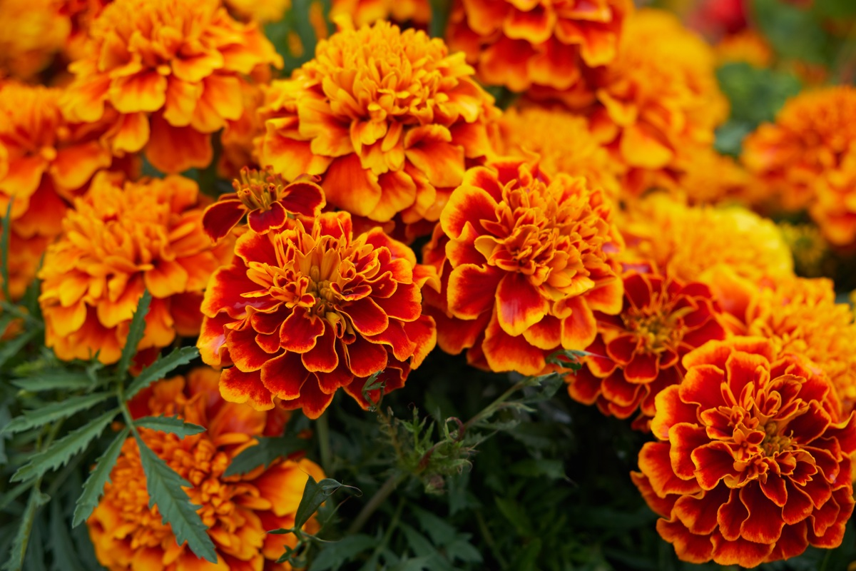 french marigold planting in The Deck by shiny
