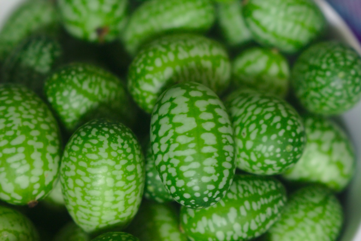 cucamelon seeds belonging to spring_rain