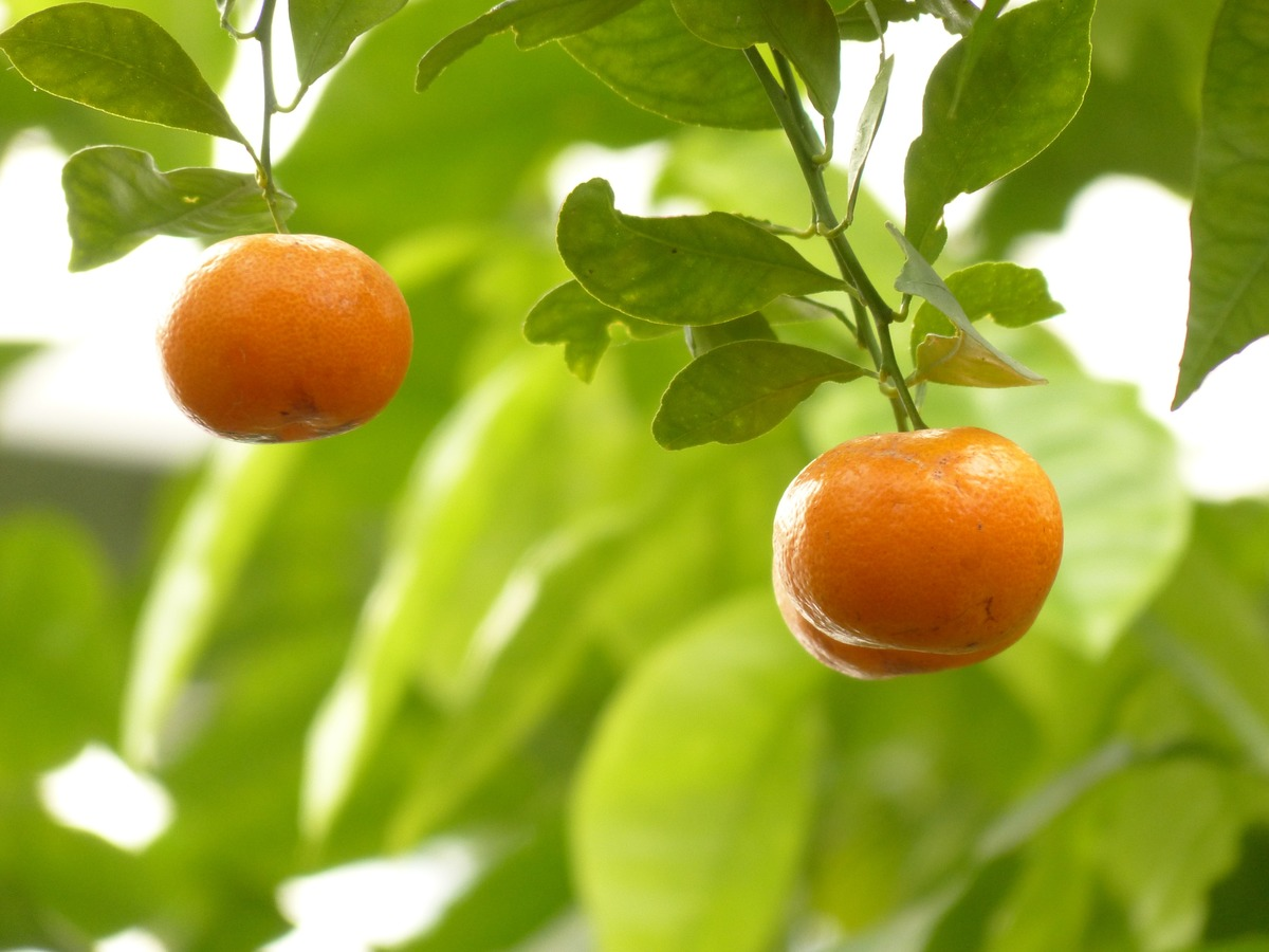 mandarin planting in AHITG_Fruit 4 by At_Home_In_My_Garden