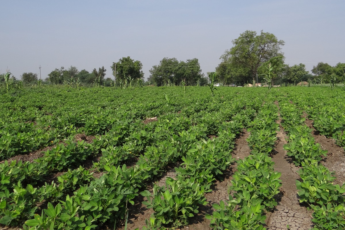peanut planting in Drylands unirrigated food forest by tiki19