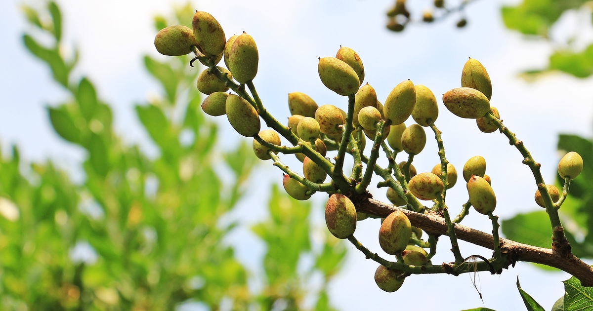 pistachio planting in Drylands unirrigated food forest by tiki19