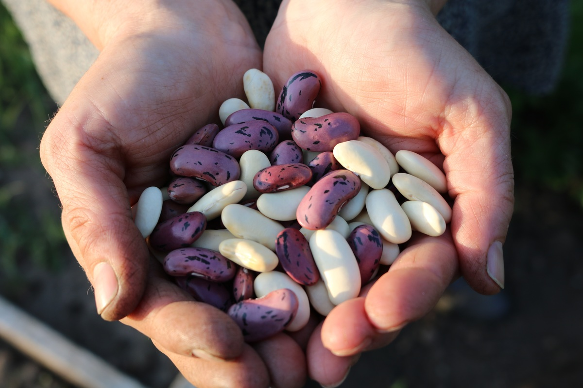 runner bean seeds belonging to bigblen