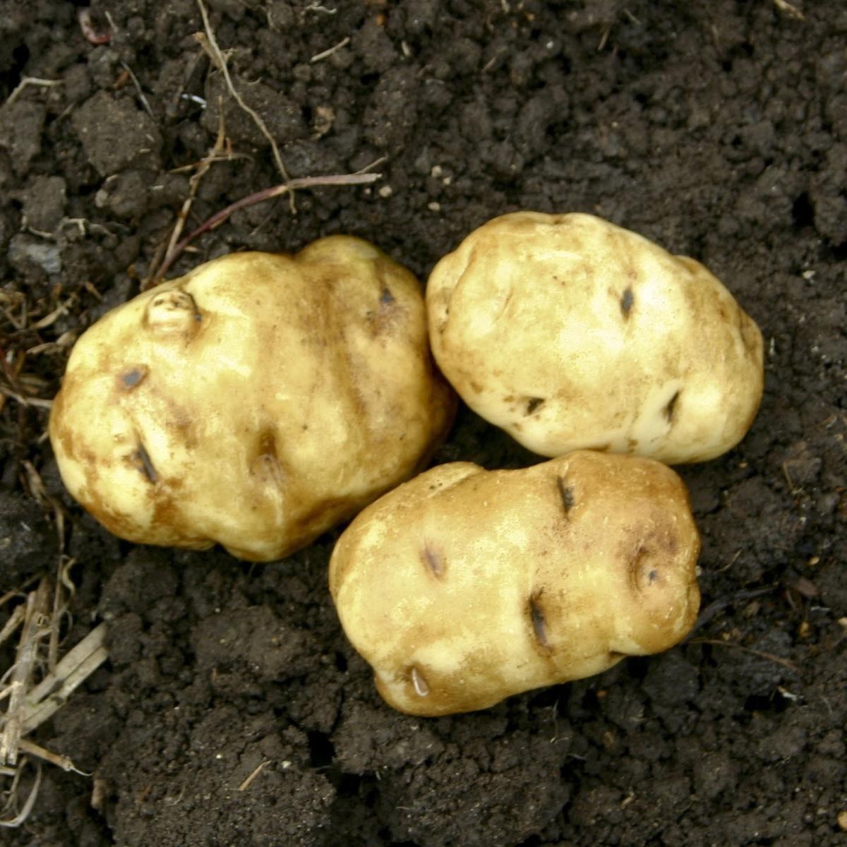 matariki taewa potato