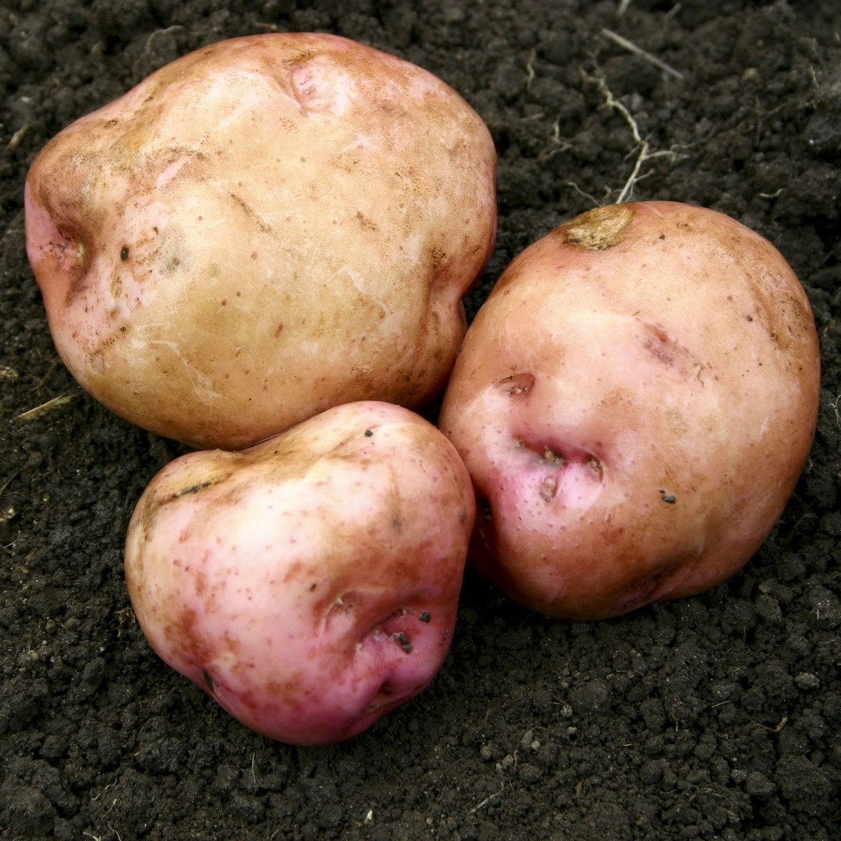 moemoe taewa potato