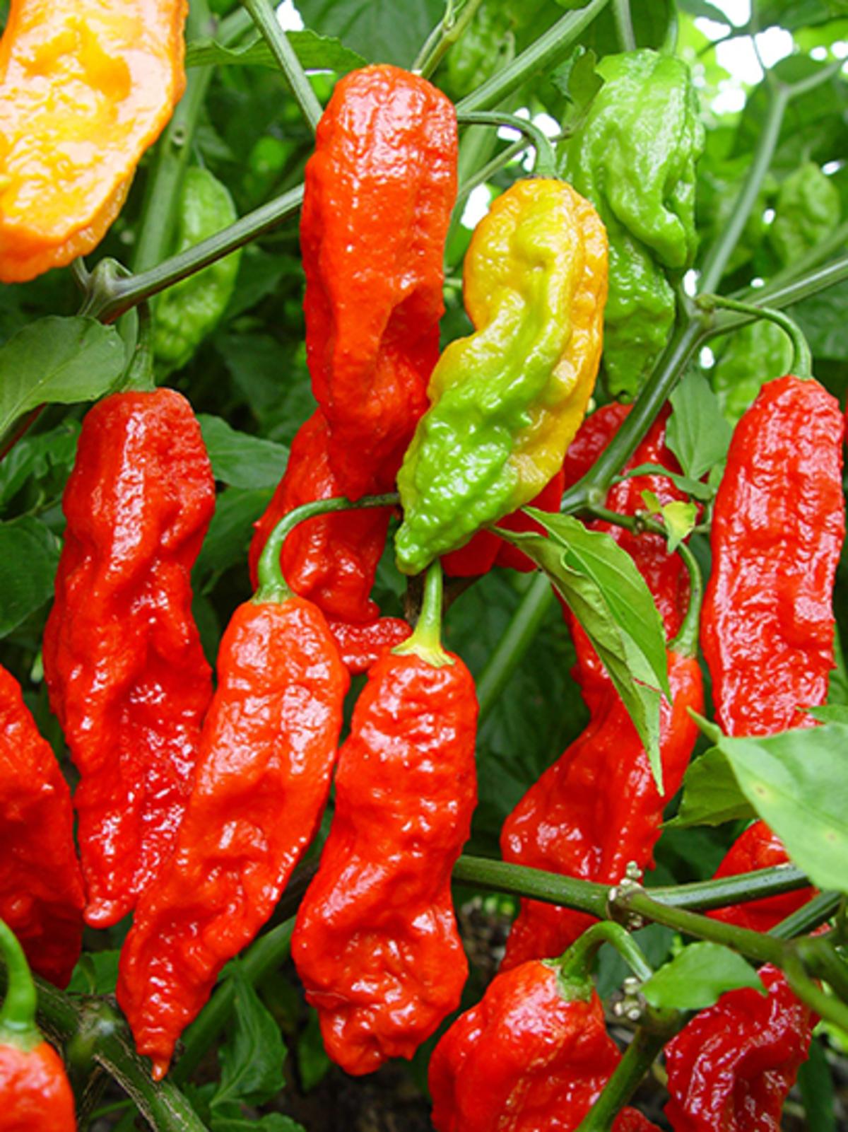 bhut jolokia chilli pepper