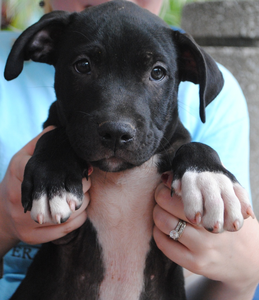 Most Inspiring Pitbull Chubby Adorable Dog - 03a7b4506b36010e97d50b76b7e554adad1a073a  Graphic_331965  .JPG?1346201891