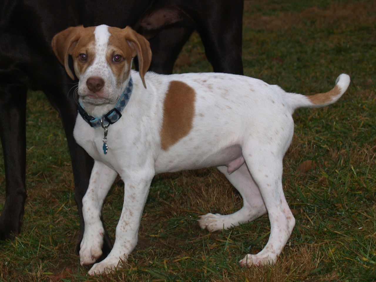 English Pointer Lab Mix He s a hound lab mix or maybeEnglish Pointer Lab Mix Puppy