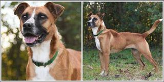 Boxer Dog Rescue Nottingham