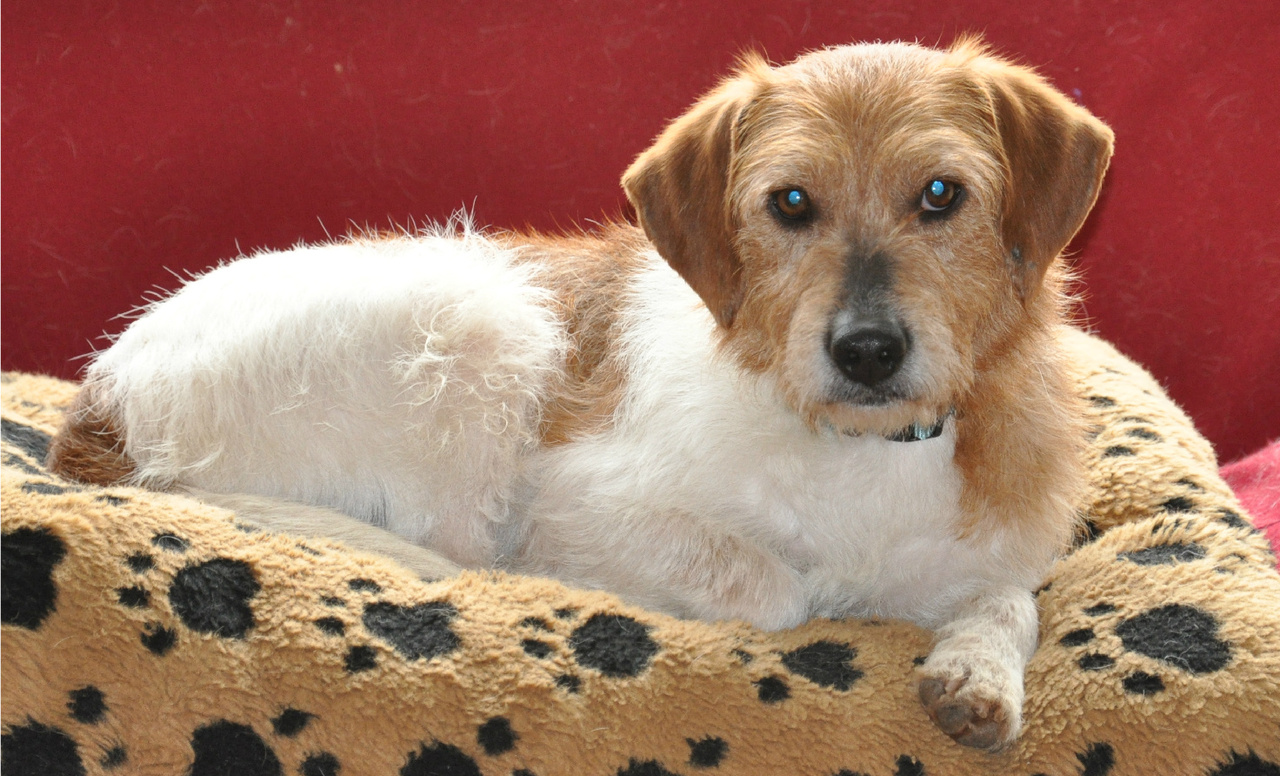 Viewing Gallery For - Wire Haired Terrier