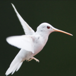 An albino hummingbird