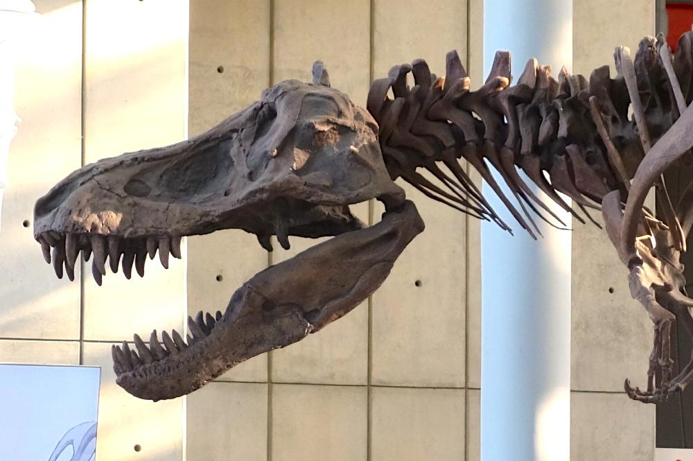 T Rex Bones