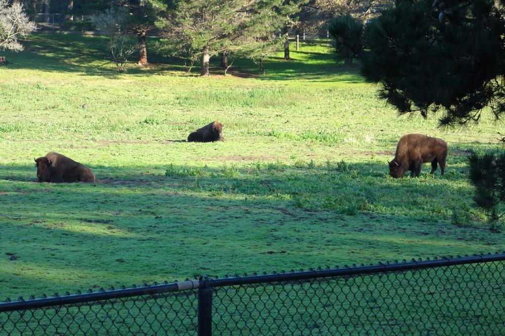 Bison in San Francisco