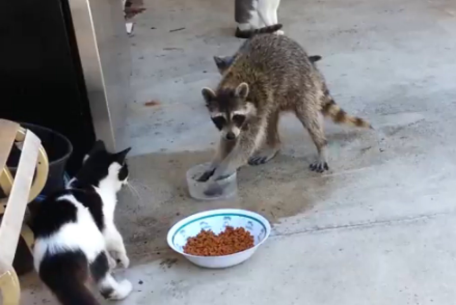 Raccoon Takes Cat Food Vine