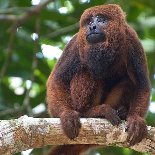 Brown howler monkey (Alouatta guariba). Image: Peter Schoen