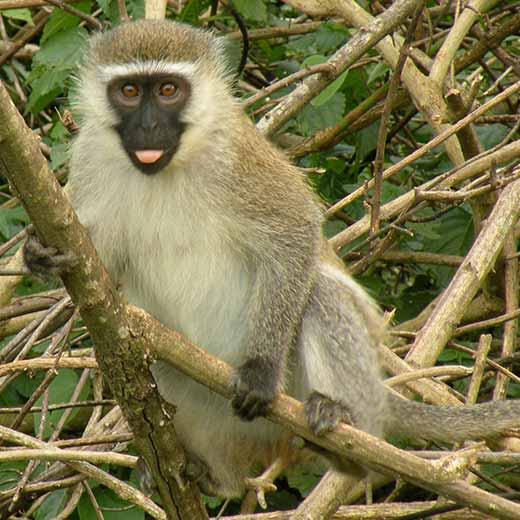 Vervet monkey. Image: Ben Tullis