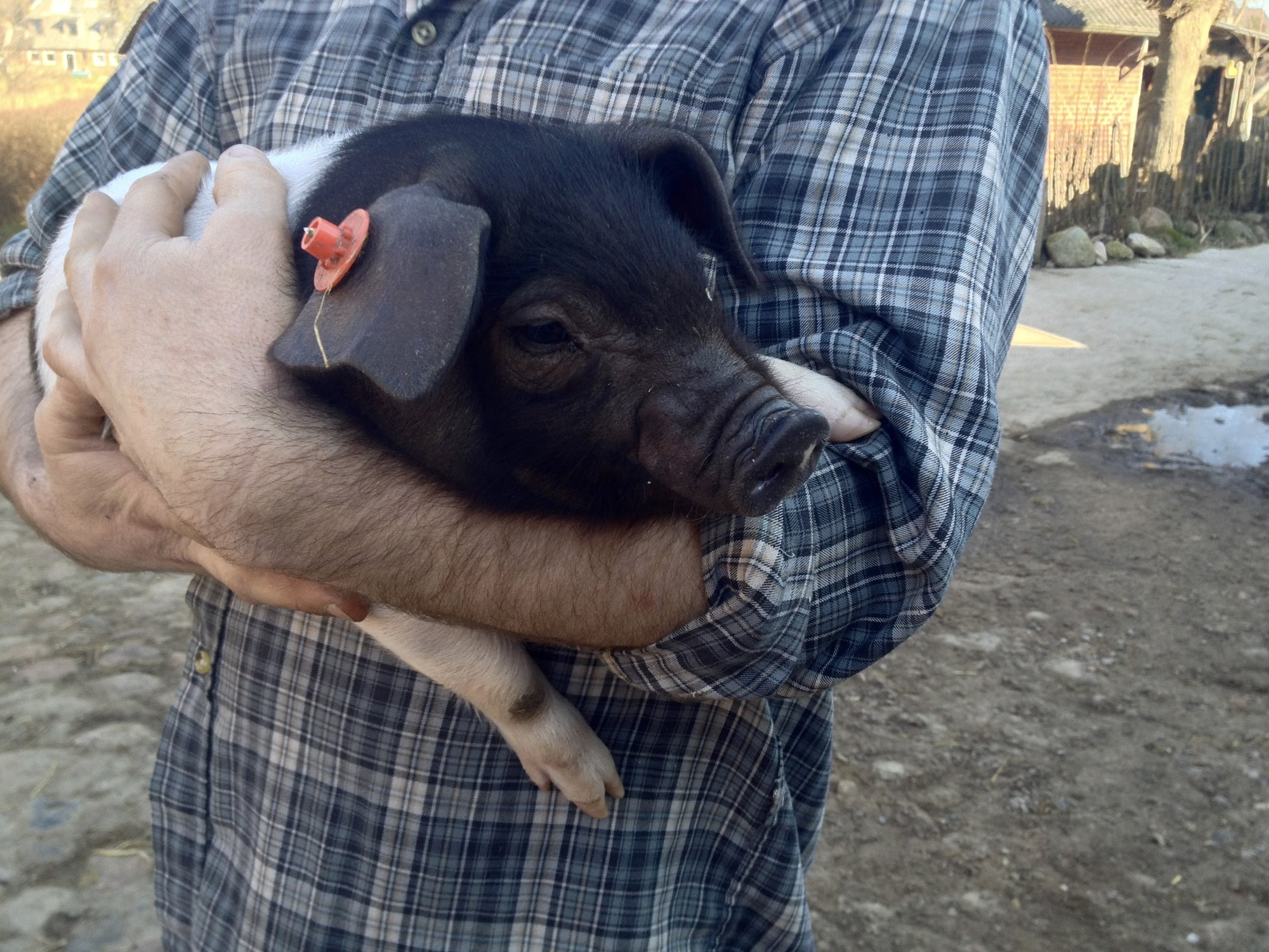 A farmer and his piglet on a certified organic farm.jpg