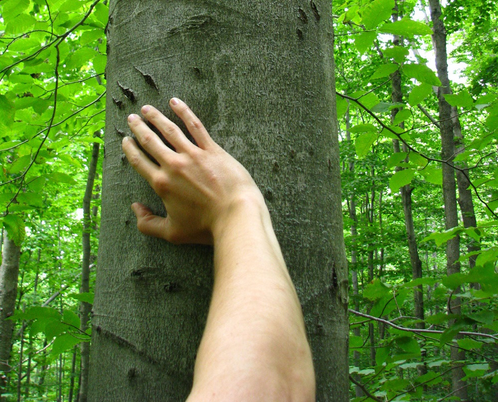 A bear clawed this beech tree in the Northern Greens region of Canada.