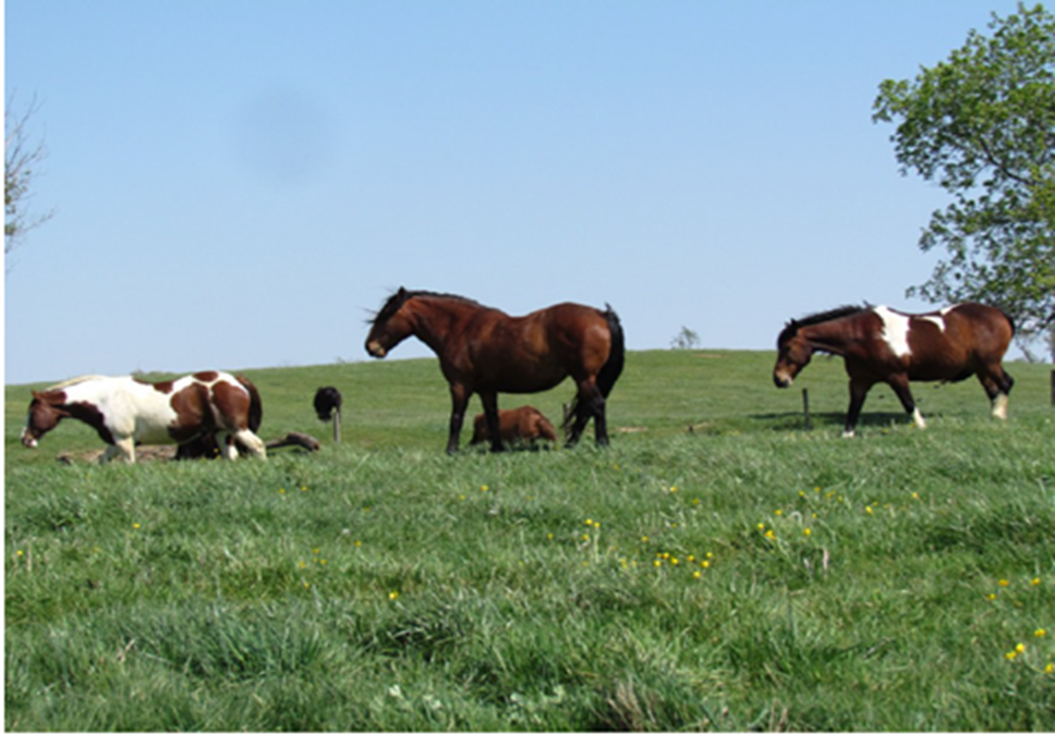 Horses from the Cowtown Rodeo graze the property's grasslands.