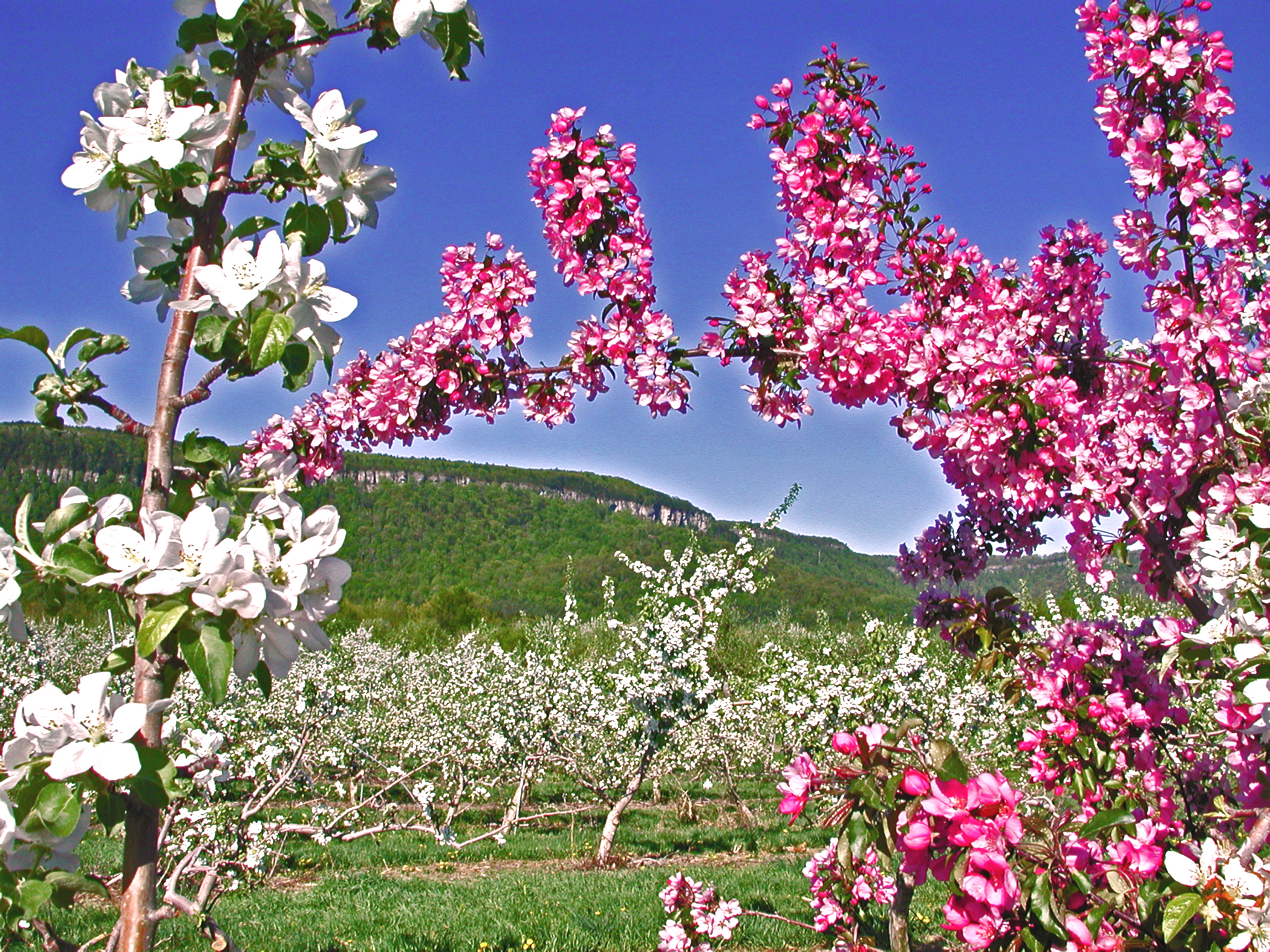 Apple trees in bloom at Indian Ladder Farms, a favorite fall destination for apple picking, cider donuts, and hard apple cider.