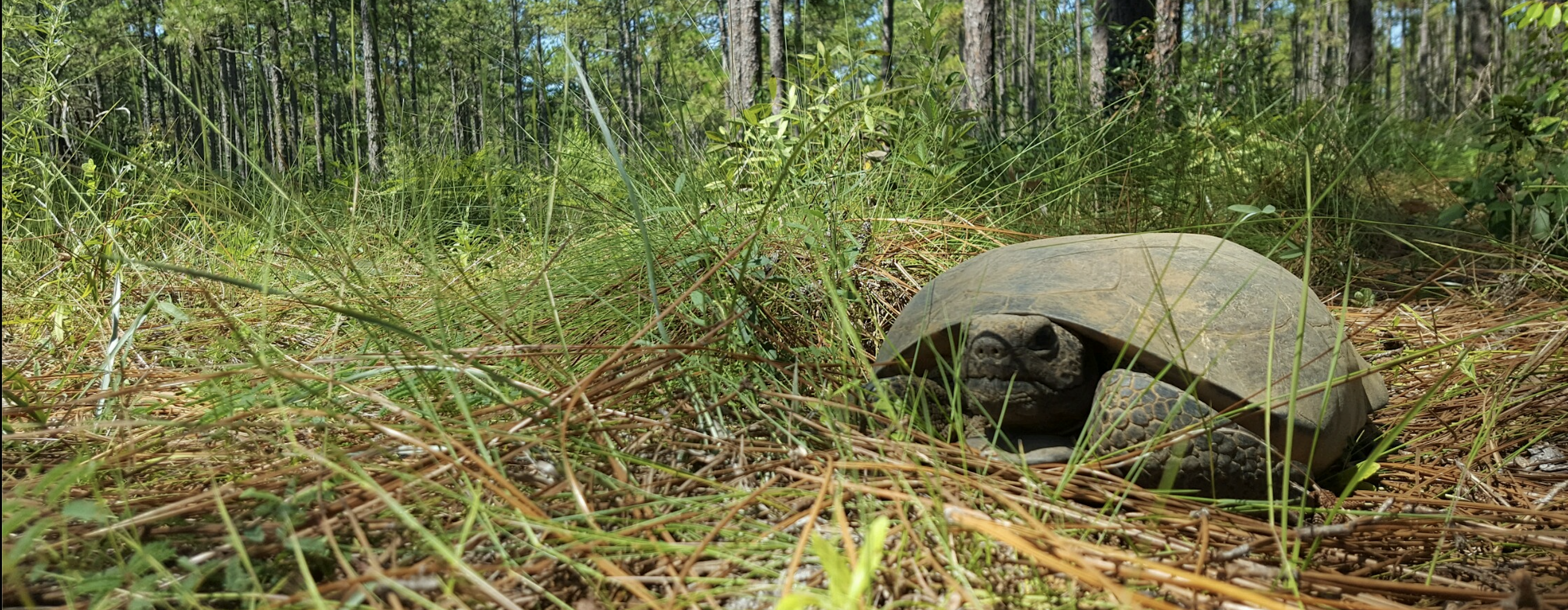 With wise eyes and scaly, shovel-like front legs, the Gopher tortoise digs burrows that provide shelter for approximately 350 other species.