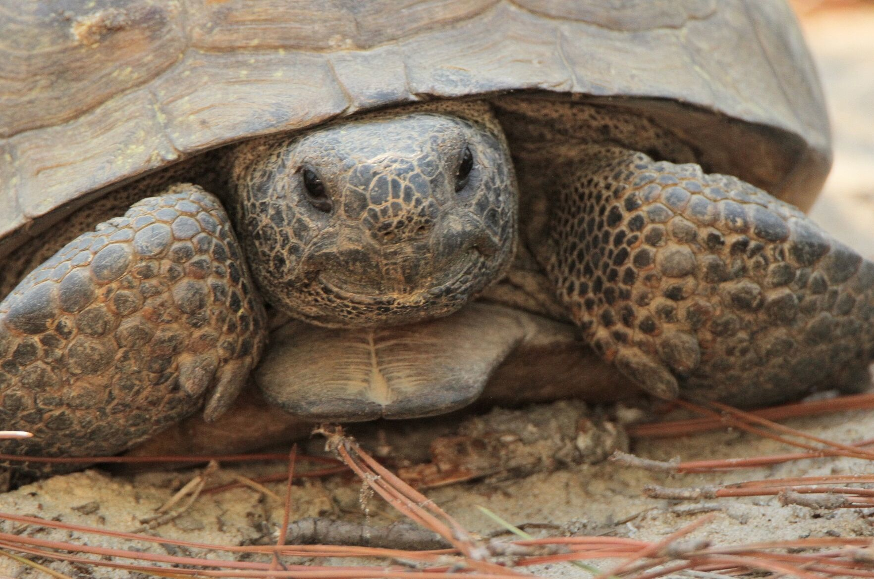 Gopher tortoises are considered a keystone species because they dig burrows that provide shelter for approximately 350 other species.