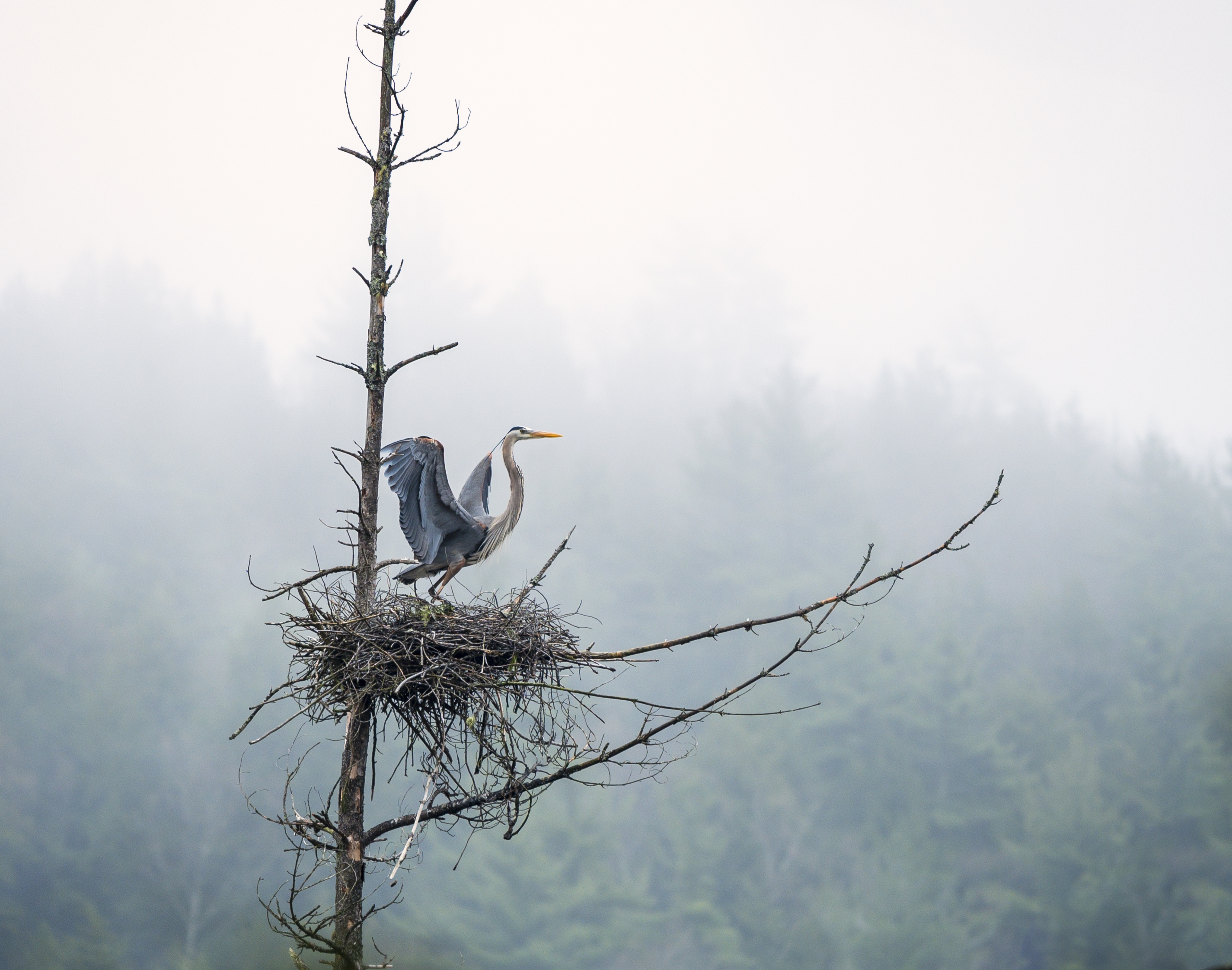 Giant Blue Heron rookery on OSI's West Mountain property