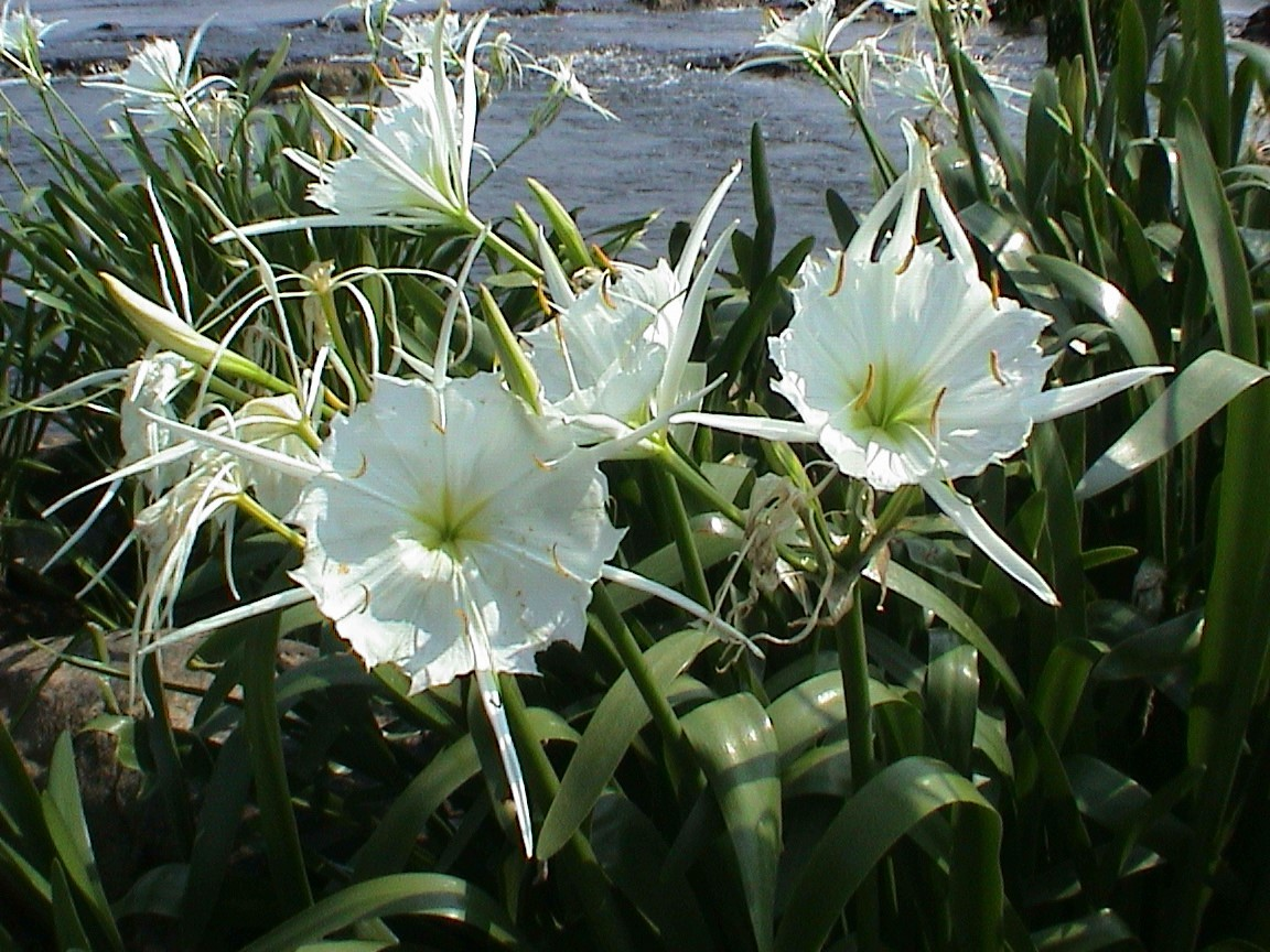 Rocky Shoals Spider Lillies at Landsford Canal State Park