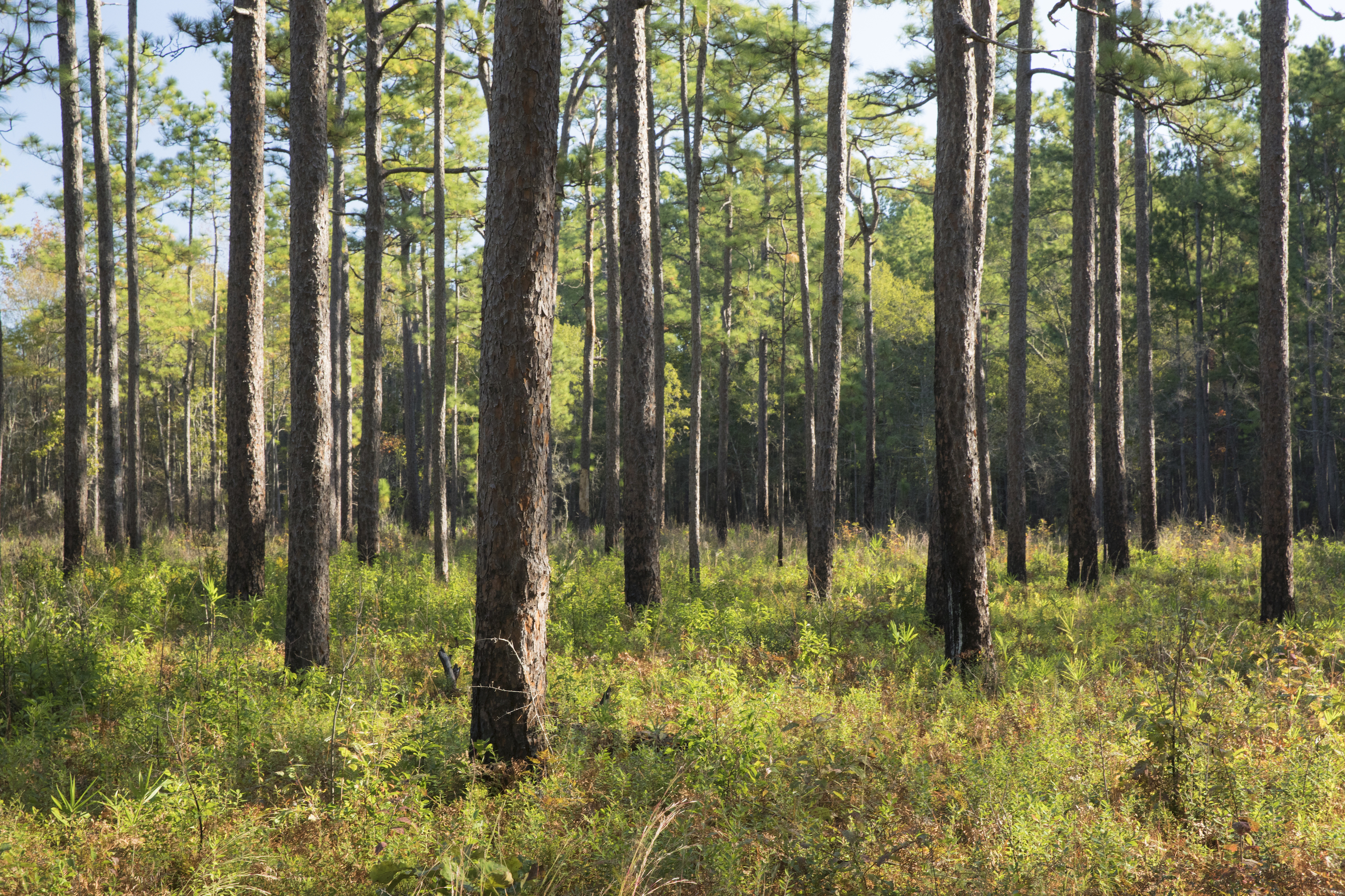 White Oak's 1,450 acres represent the biggest private inholding left in the Francis Marion, and the seventh addition to the national forest by OSI.