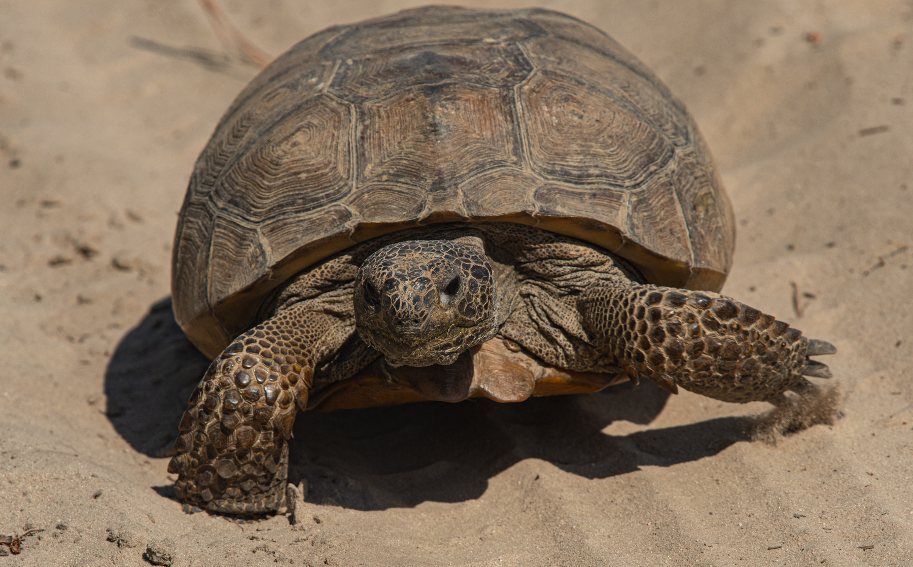 The tortoise population of 150 individuals will continue to expand under OSI's and SCDNR's stewardship, enhancing a critical stronghold for these charismatic, docile, ancient reptiles.