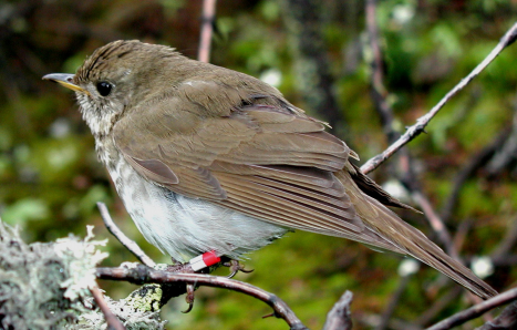 Redington Forest includes critical habitat for the Northeast's most imperiled songbird, the Bicknell's Thrush.